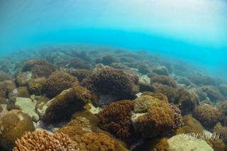 サンゴ.png